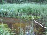 Konnaosi (Equisetum fluviatile) konnaoss, jõeosi, veeosi, vesikuusk