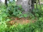 Maasikad on peenralt plehku pannud.