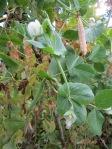 esimese saagi hernekaun järgmise aasta seemneks, noor hernekaun ja õied