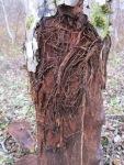 juured puutüvel, koore all